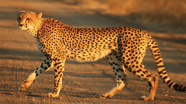 Cheetahs were nearly wiped out in the last ice age but a small population interbred and survived. For this reason, most cheetahs on Earth today are very, very close genetically