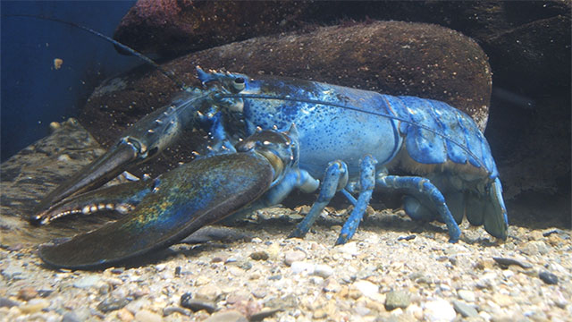One in every 4 million lobsters is born blue. They typically don't survive very long though.