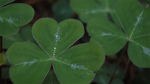 The most famous Irish symbols are the harp, Celtic cross, Irish wolfhound, and obviously the shamrock