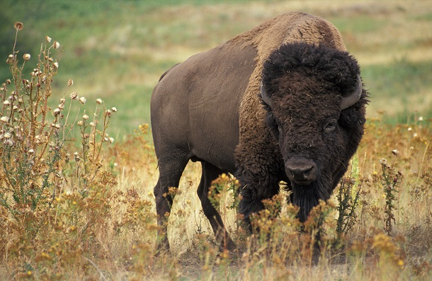 American_bison