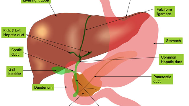 There are about 1,000 genes that vary between males and females with regards to the liver. Thisis why the sexes process everything from alcohol to tylenol at different rates.