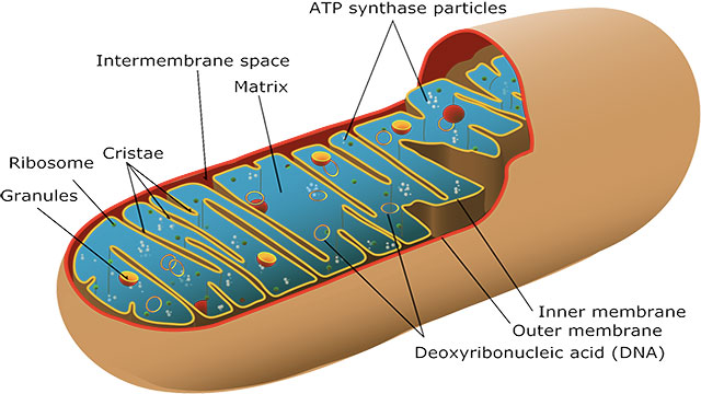 Only females can pass mitochondrial diseases on to their offspring.