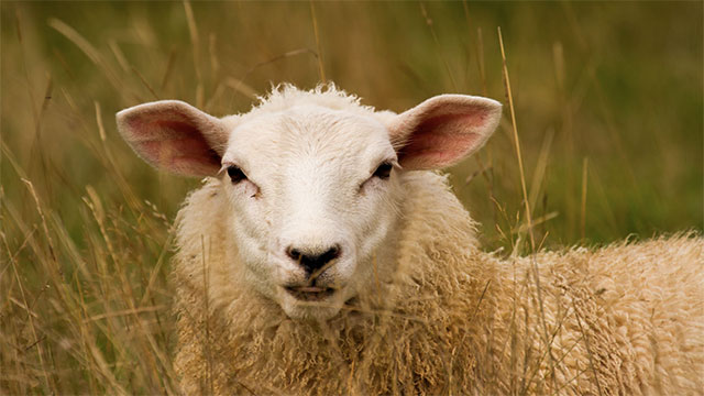 What did the farmer say when he lost his sheep?