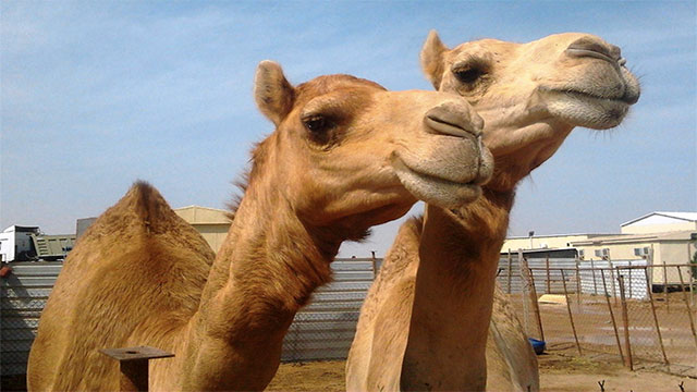 Saudi Arabia imports sand and camels from Australia