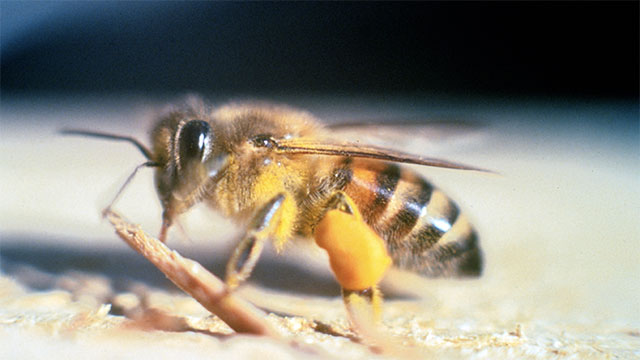 Africanized honey bees were going to take over the country