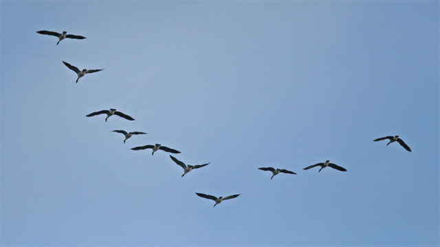 You know why when geese fly in a V, one side of the V is longer than the other?