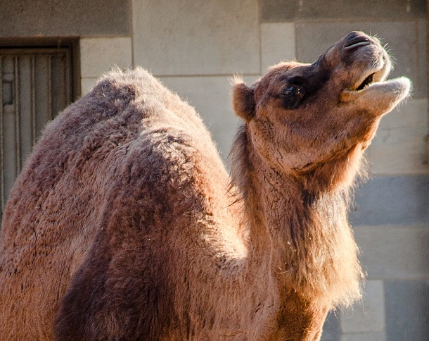 camel with hump