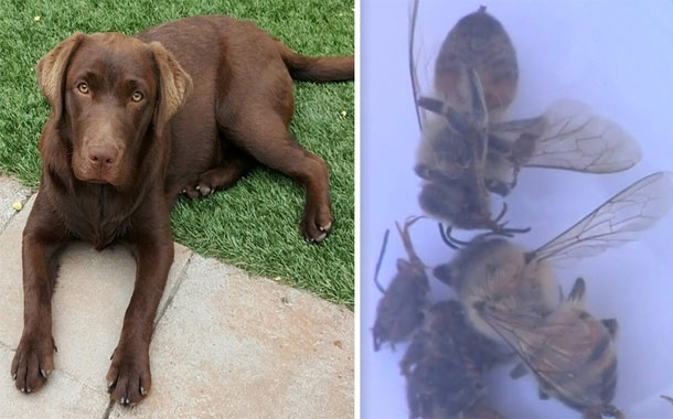 Lab Swarmed By 150 Africanized Bees Before A Brave Neighbor Comes To The Rescue