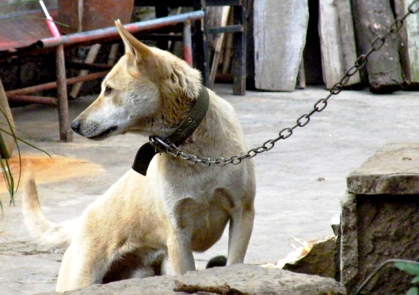 chained dog