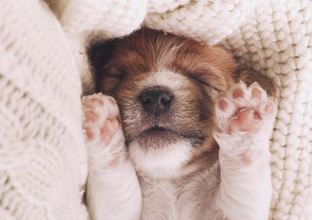 Puppy with eyes closed in sweater blanket and holding paws up
