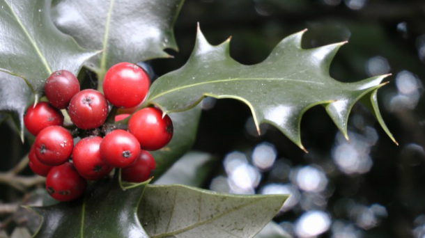 holly-and-ivy