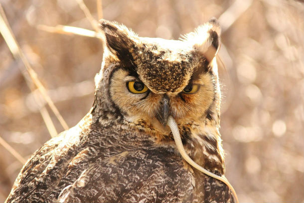 owl with mouse tail hanging from mouth