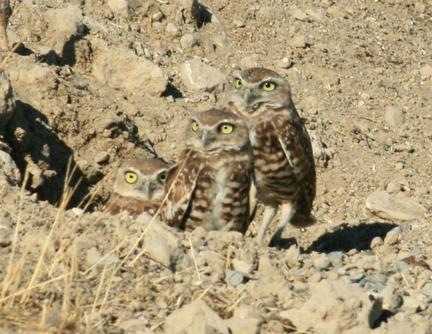 owls in dry rocky place