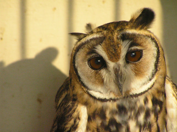 owl with shadow