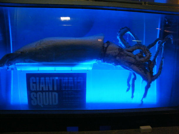 Giant_squid_display_at_Kelly_Tarltons_Underwater_World