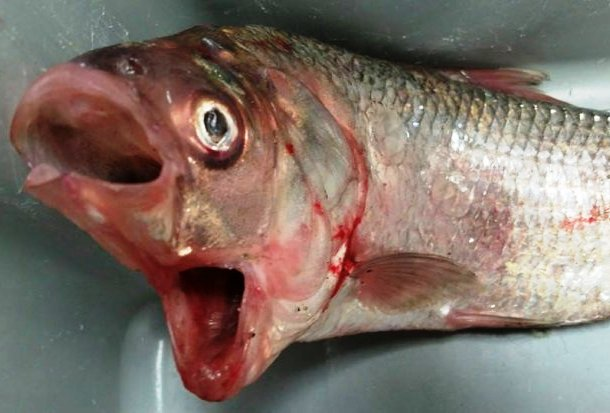 Fish with two mouths