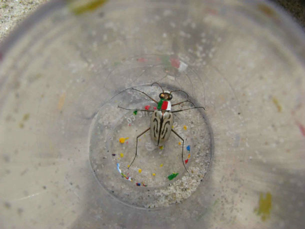 Northeastern_beach_tiger_beetle_insect_in_a_jar