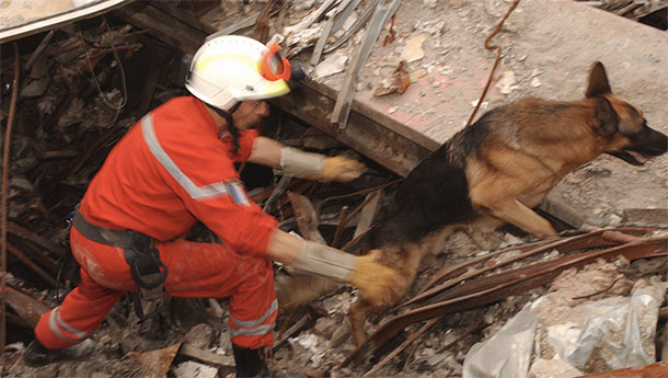 French Urban Search and Rescue Task Force working with his Alsation at Ground Zero