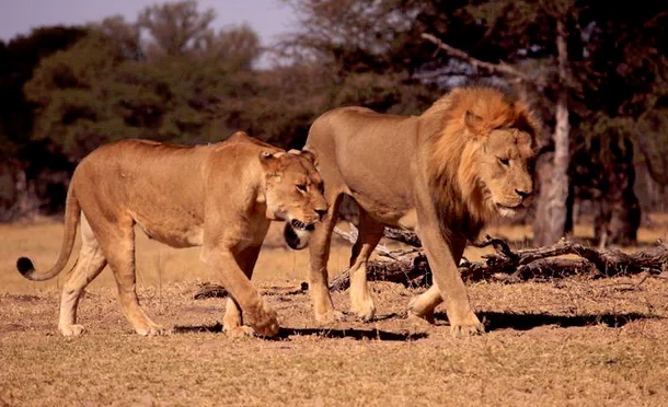Son_Of_Cecil_The_lion