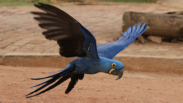 The Lear's Macaw