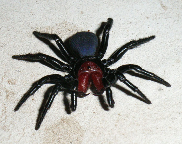 Male_Mouse_Spider