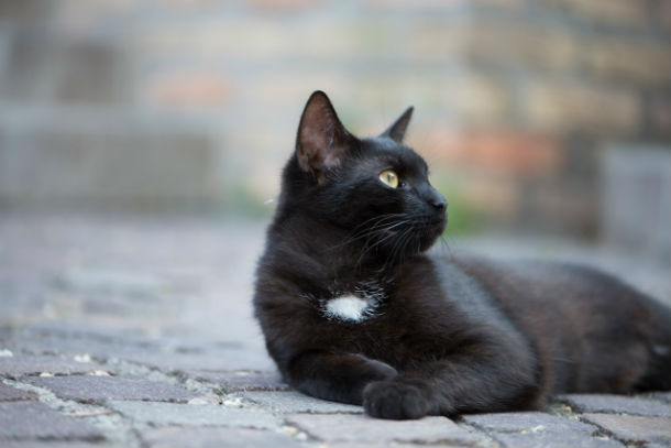 black cat with white patch