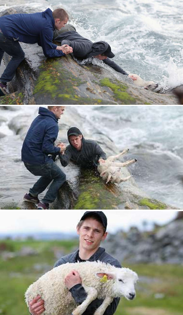 Norwegian boys saving sheep