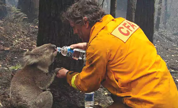 David Tree gives water to koala