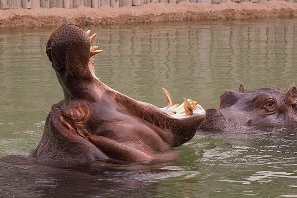 hippo mating