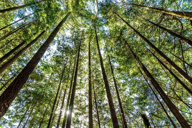 1200px-Tall_trees_at_Rolley_Lake